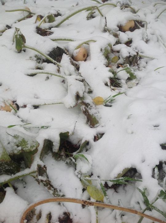 snow_squash
