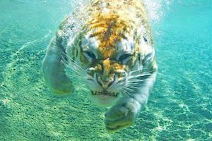 tiger_300