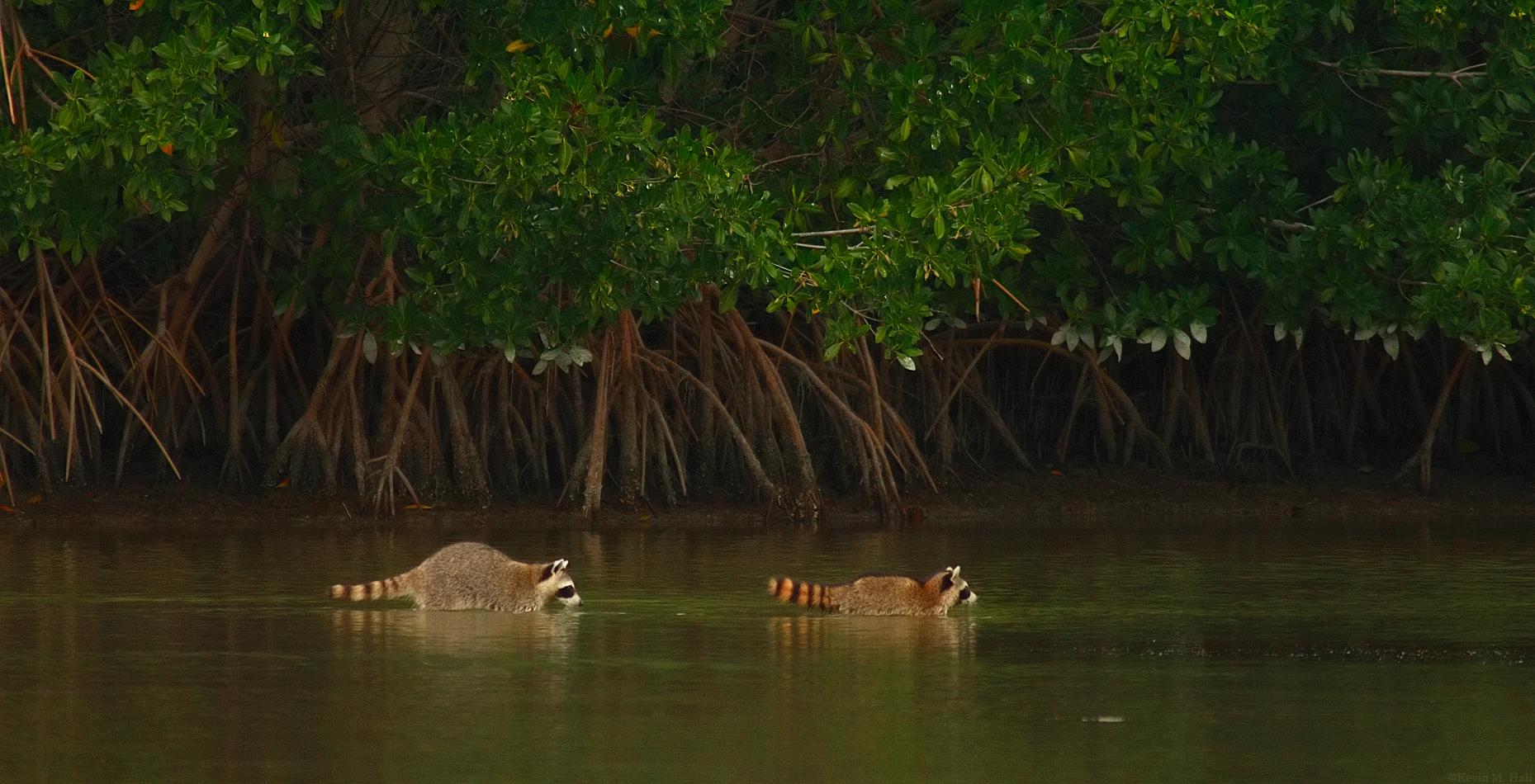 Raccoons in the Tidal Flat