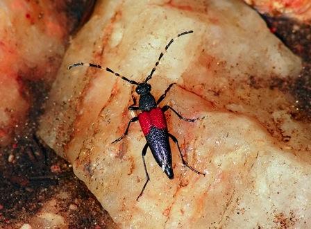 flower longhorn beetle links
