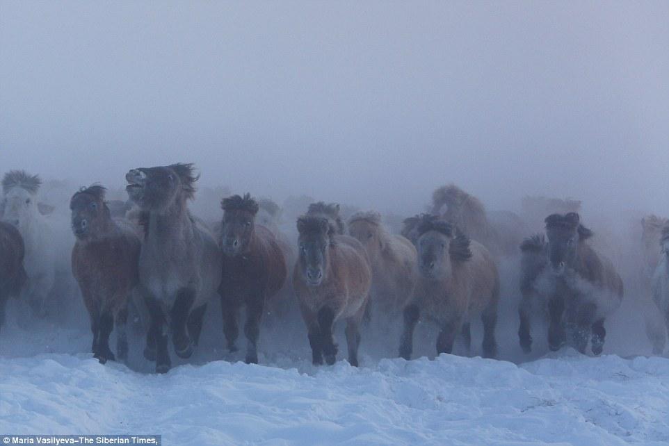 Yakut horses links
