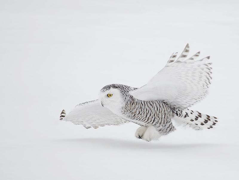 snowy_owl