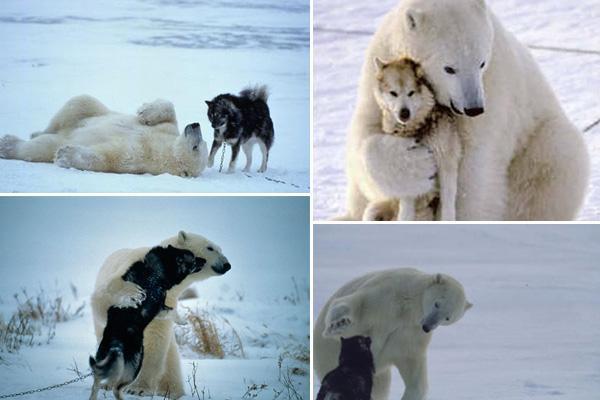 Polar bear and dog links