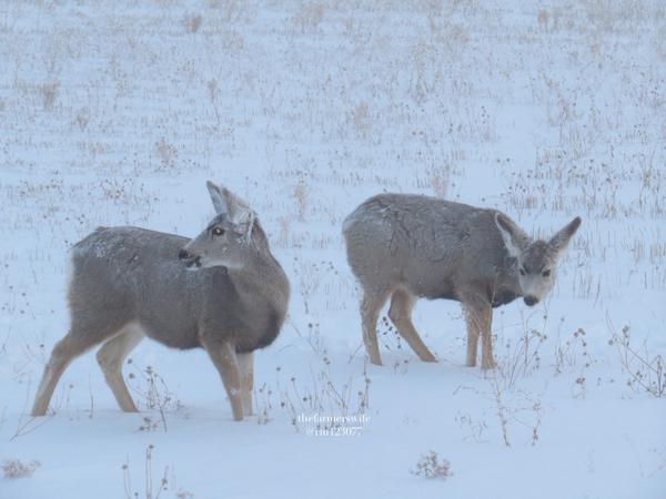 antidote_mule_deer