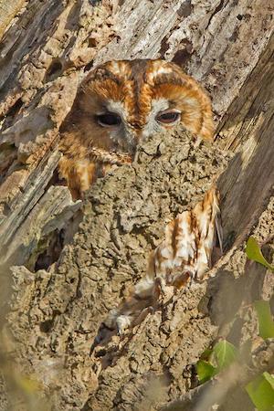 antidote_owl_300