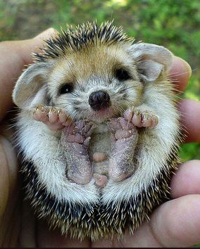 baby hedgehog links