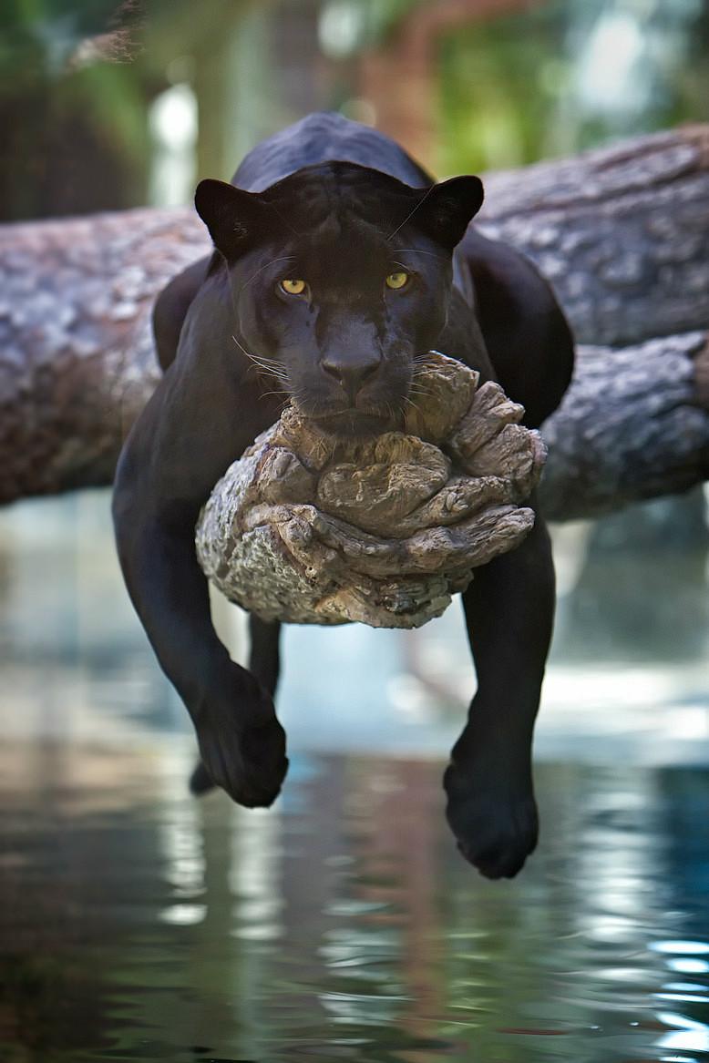 black jaguar links