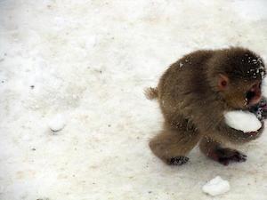 monkey_snowball_300