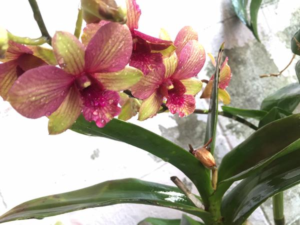 plantidote_orchid
