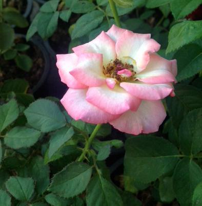plantidote_rose
