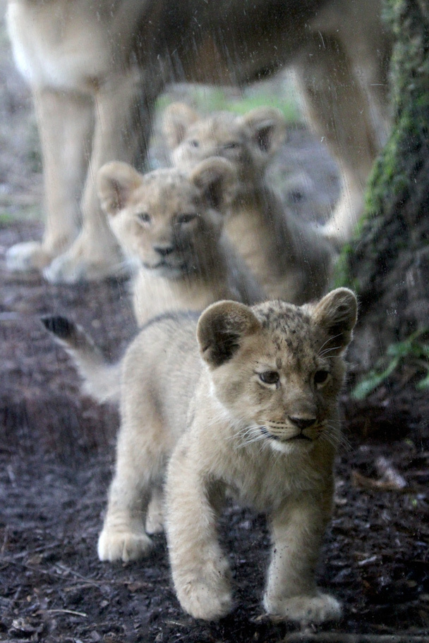 seattle zoo lion cubs links