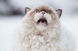 snow_cat_300