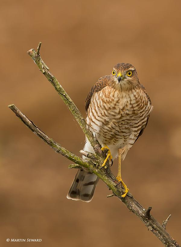 sparrowhawk links