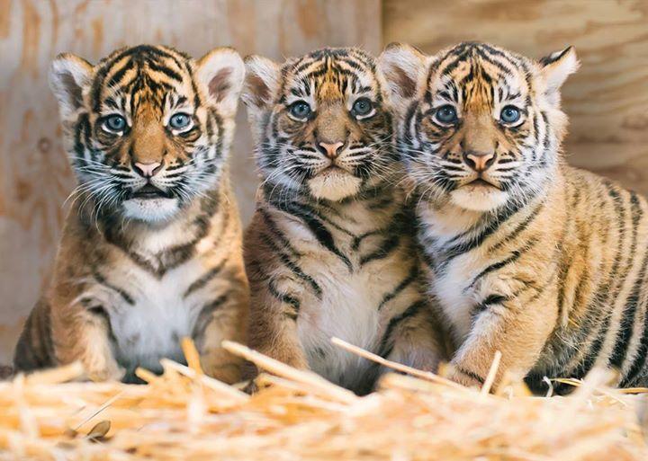 tiger triplets tacoma zoo links