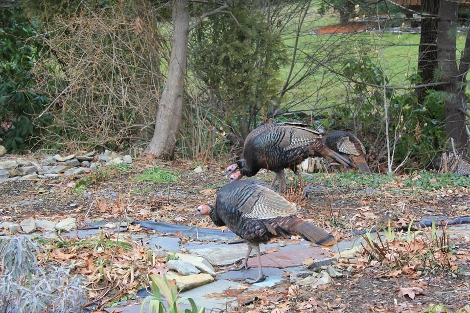 George P turkeys links