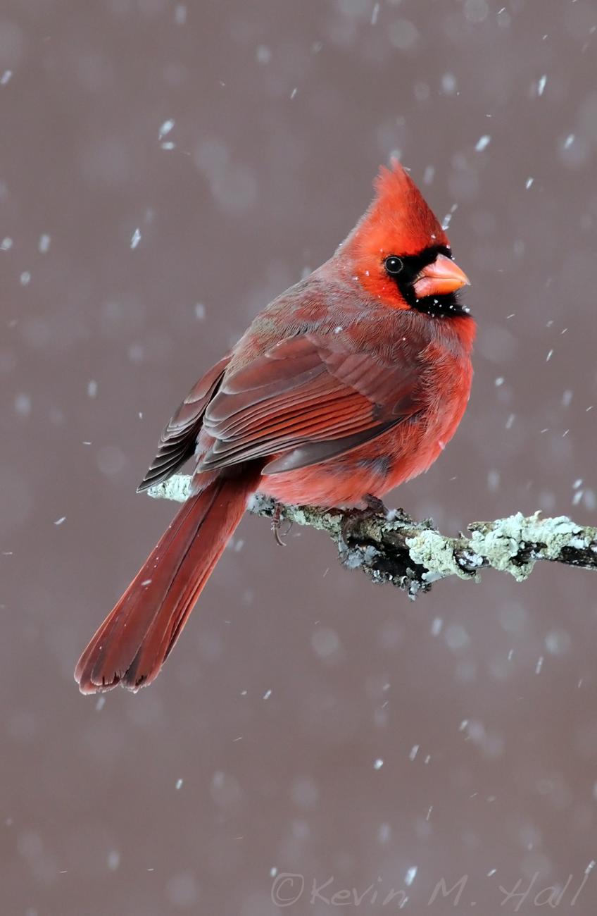 Northern Cardinal IX