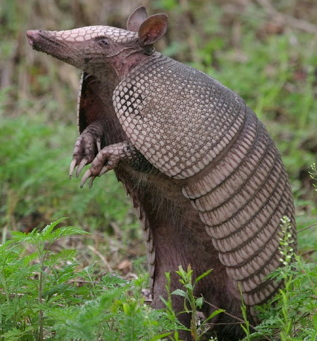 cute armadillo links