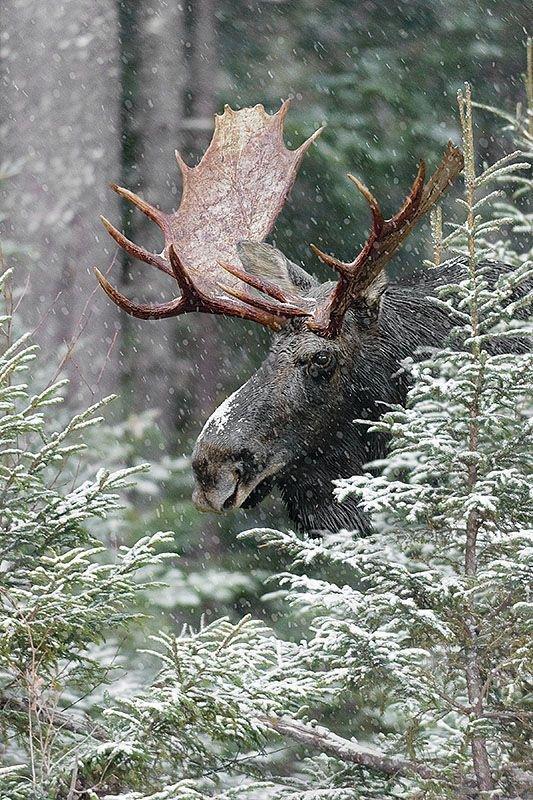 antidote_moose