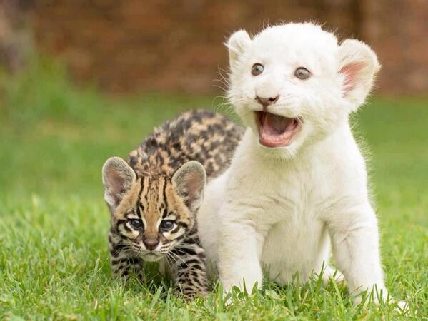 baby lion and ocelot links
