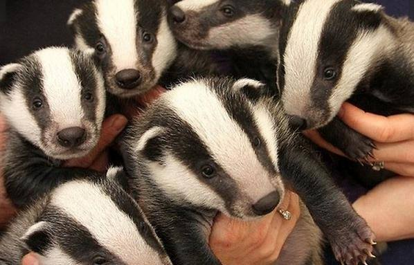 badgers links