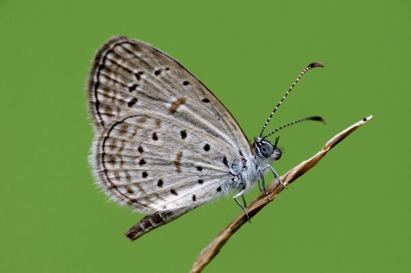 grass blue butterfly links