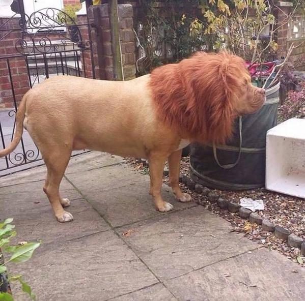 lion dog links