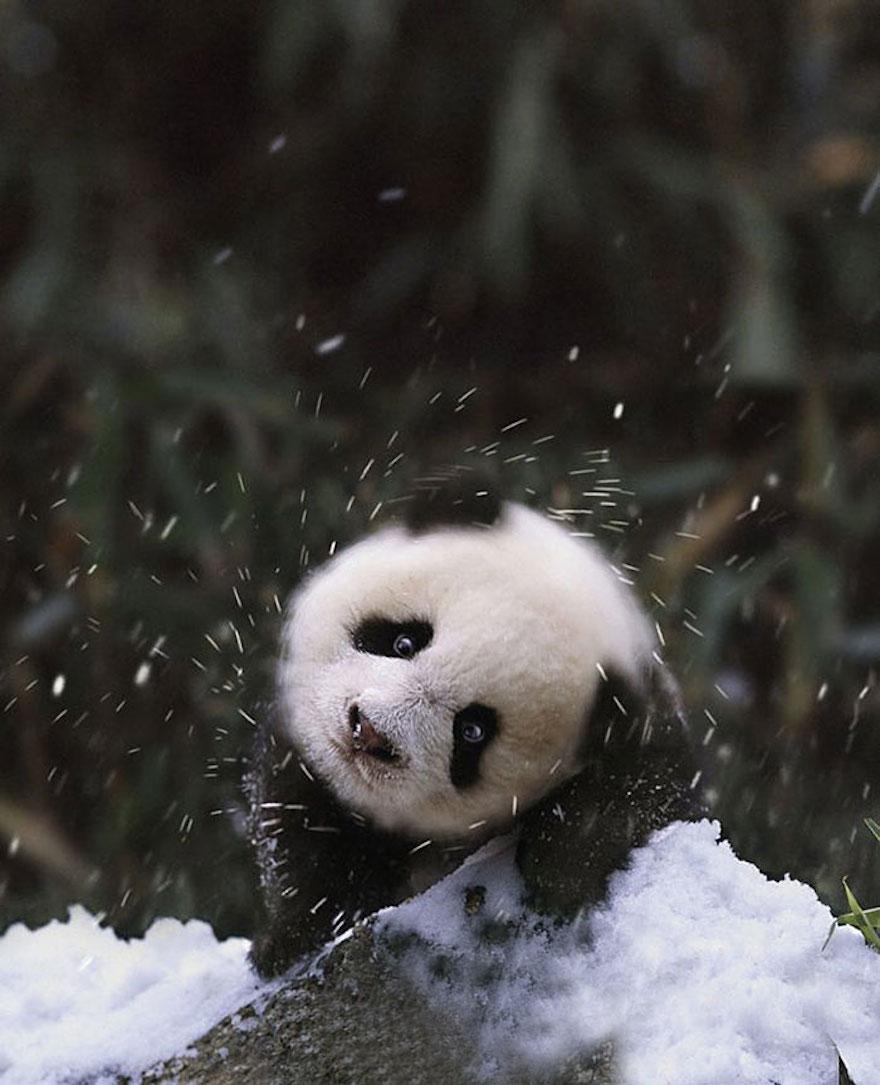 panda in snow links