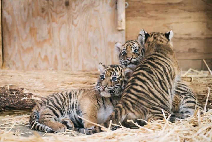 tiger triplets 2 links