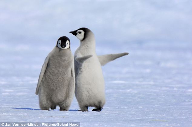 young penguins links