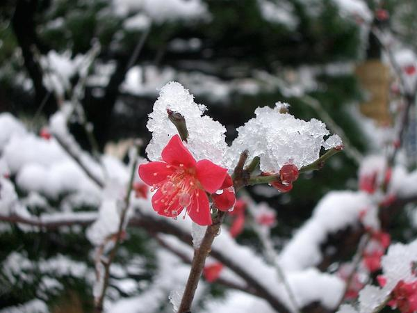 2005-03-04_jp-tokyo_snow_7_frozen-flower_b