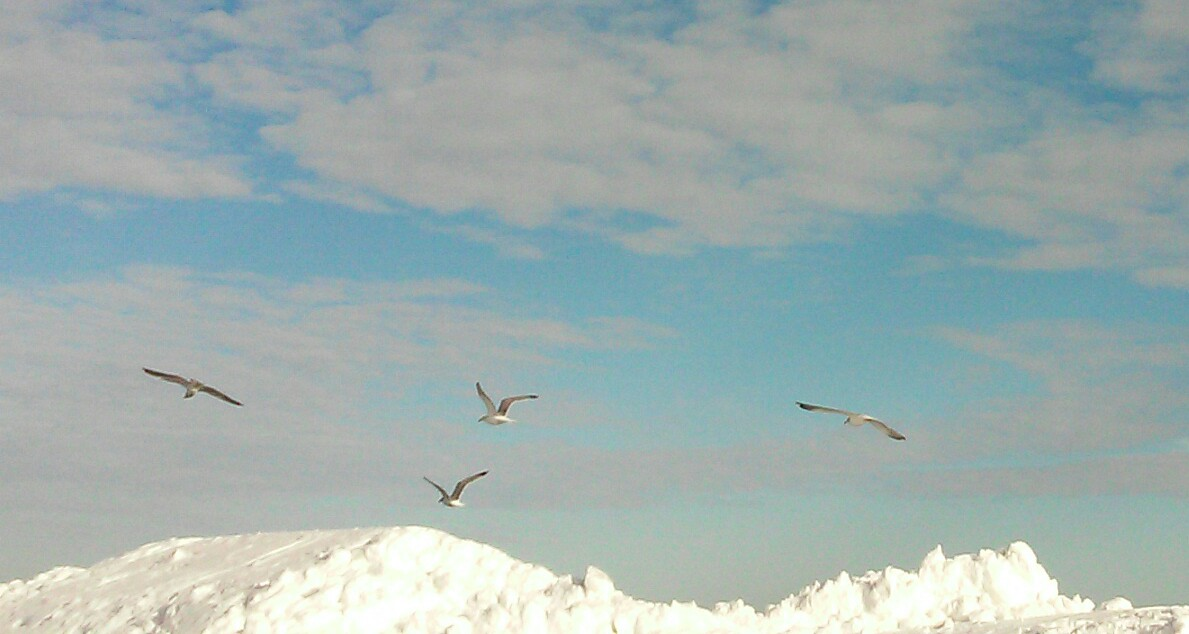 gulls in snow links