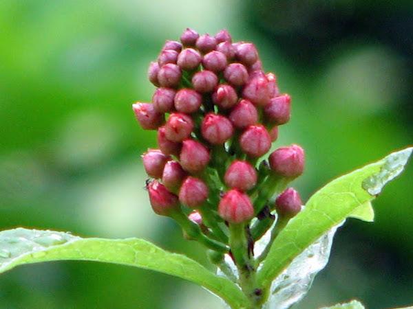 Combretum Constrictum - New Guinea Bottlebrush 5