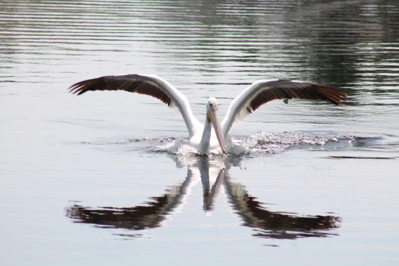 Pelican Landing links