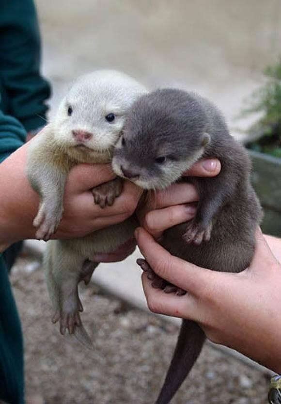 baby otters links