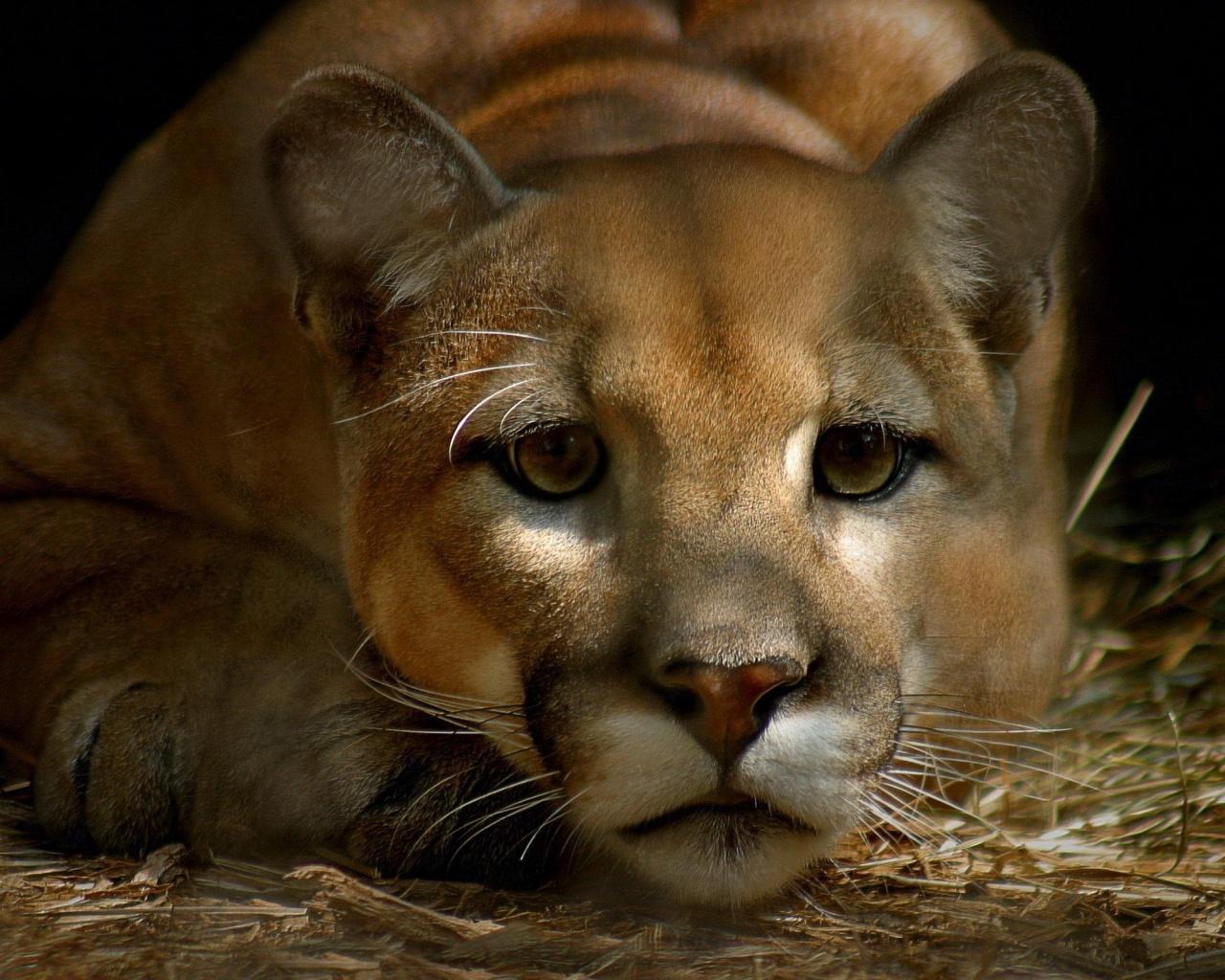 cougar-photos-8 links