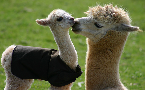 cute-llama-pair links