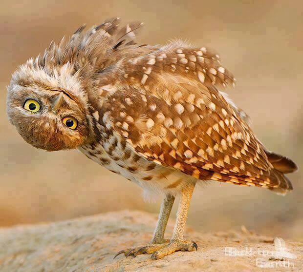 gymanstic owl links