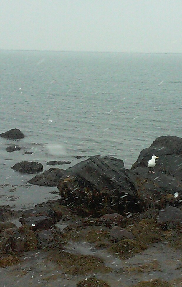 sea gull in snow links