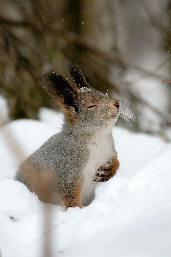 snow squirrel links
