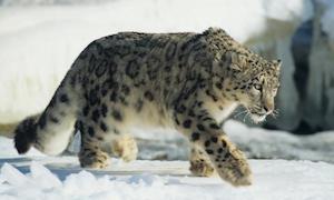 snow_leopard_300