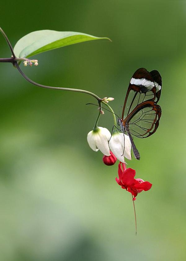 transparent butterfly links