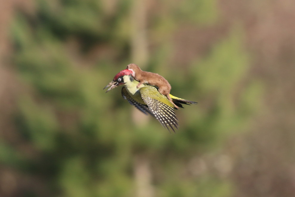 weasel and woodpecker
