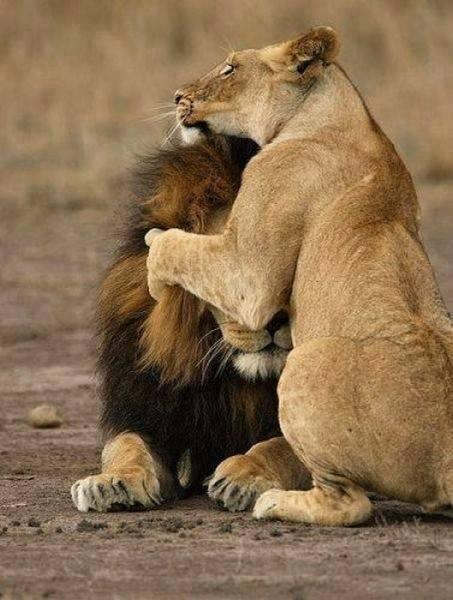 antidote_lion