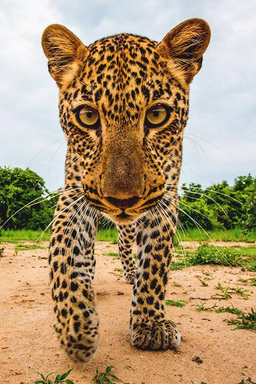 jaguar in your face links