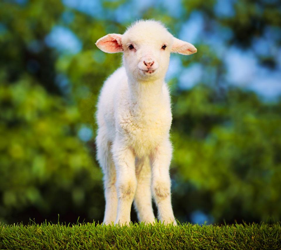 mary's_little_lamb_links