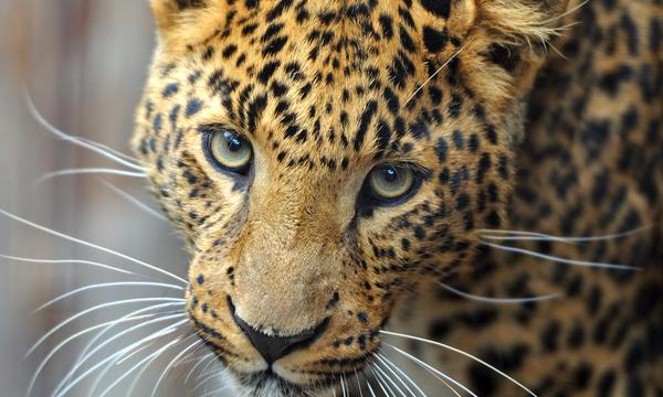 amur leopard links