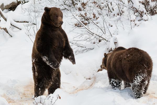 bears in snow links
