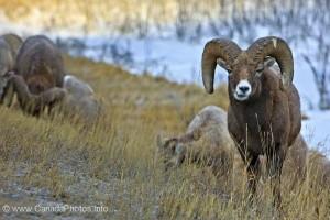 bighorn-sheep-alberta-603