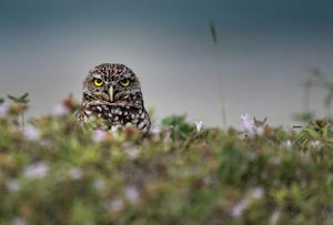 burrowing_owl_300