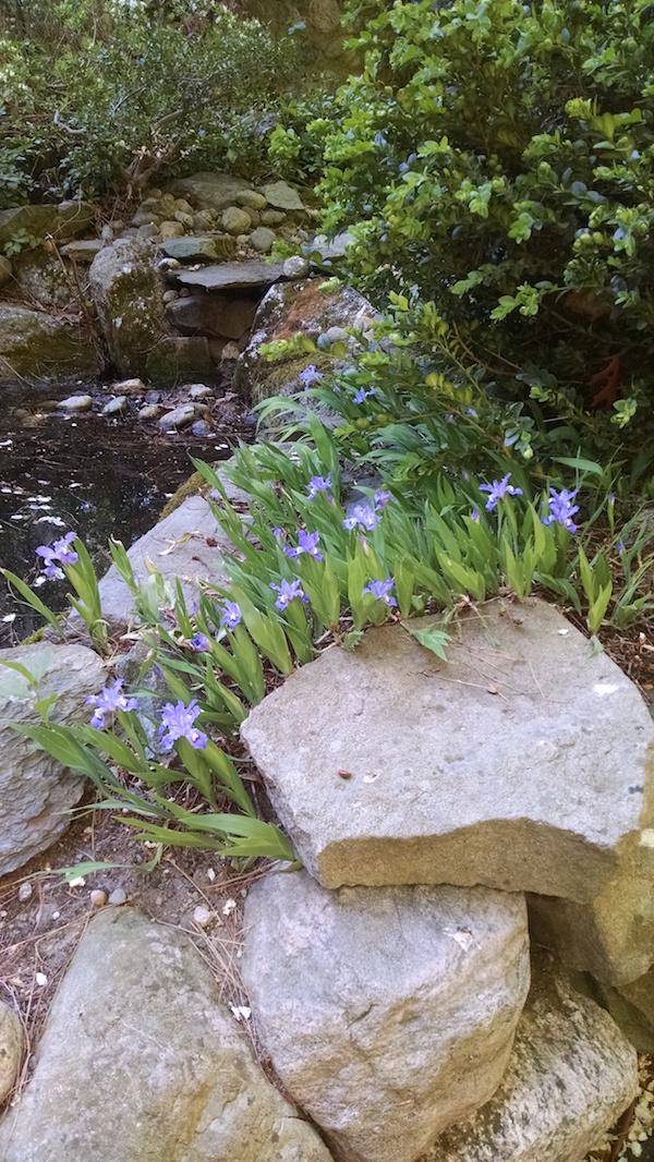iris_pond
